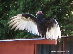 10_Turkey_Vulture_2010_DSC00843
