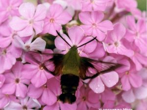 12-Hummingbird_Moth_S_Sam