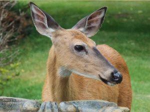 15_deer