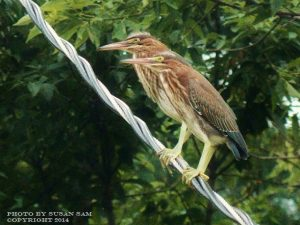 16_Green_Heron_Pair