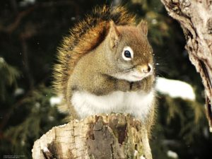 18_Red_Squirrel