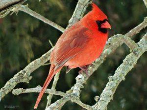 19_Cardinal