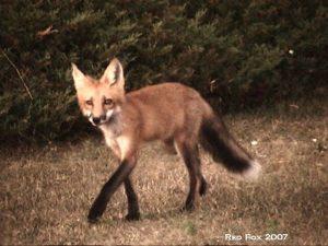 1_Red_Fox_2007_DSC00055