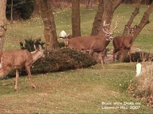 3_Buck_with_Does_on_Lookout_Hill_2007_DSC00196