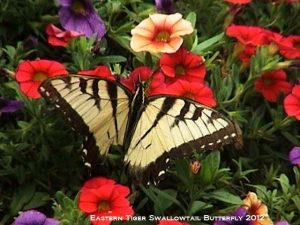 5_Eastern_Tiger_Swallowtail_by_Susan_Sam-Copyright_2012-DSC01142