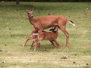 6_Doe_with_Fawn_2012_DSC01114_S_Sam