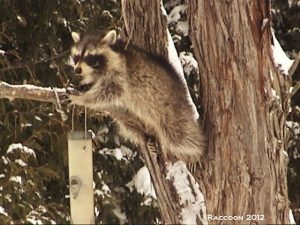 8_Raccoon_2012_DSC00928_S_Sam