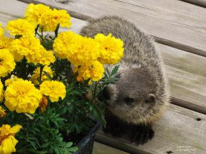 9June15_Checking_out_the_marigolds!