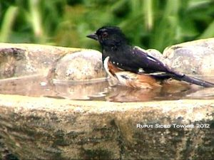 9_Rufus_Sided_Towhee_Susan_Sam_2012-DSC01041