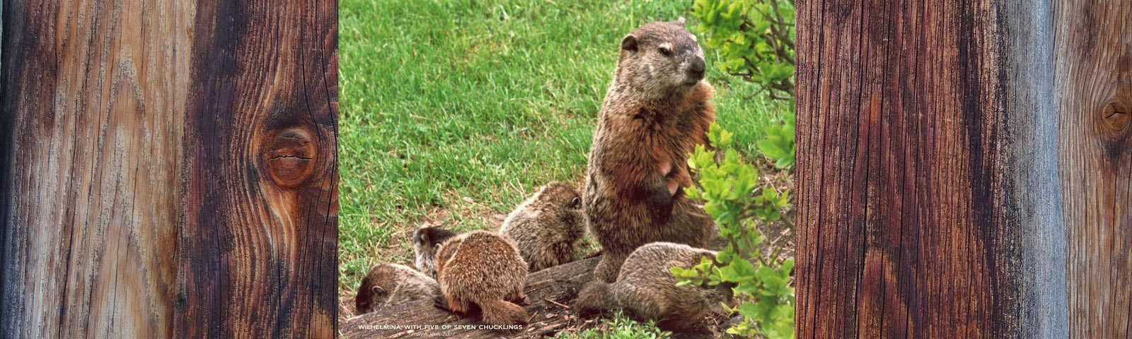 Woodchuck Wonderland